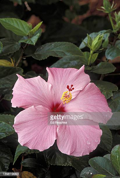 hibiscus (mallow), hibiscus sp. shows numerous stamens united into tube and stigma (5-parted). florida - ed reschke photography stock pictures, royalty-free photos & images