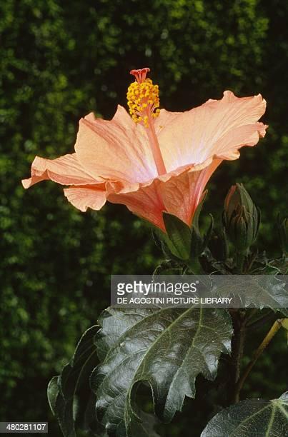 Hibiscus or Rose Mallow Malvaceae