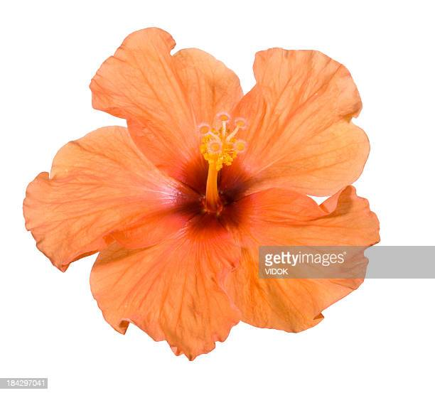 hibiscus. - tropical flower stock photos and pictures
