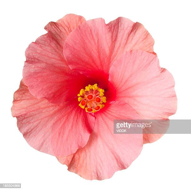 hibiscus. - flower head stock photos and pictures