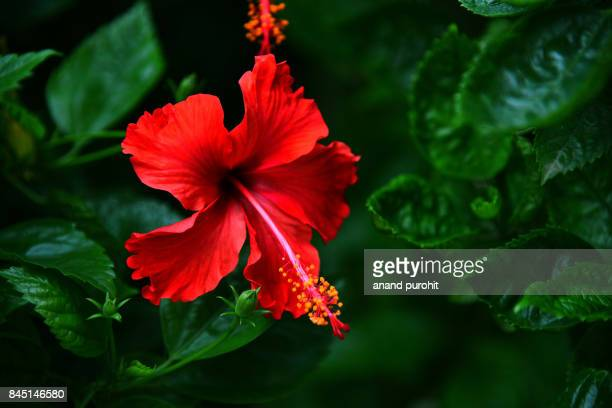 hibiscus rosa-sinensis flower - hibiscus stock pictures, royalty-free photos & images