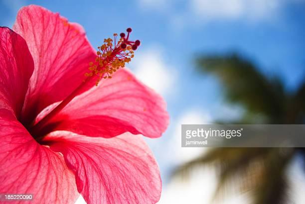 hibiscus tropical paradise