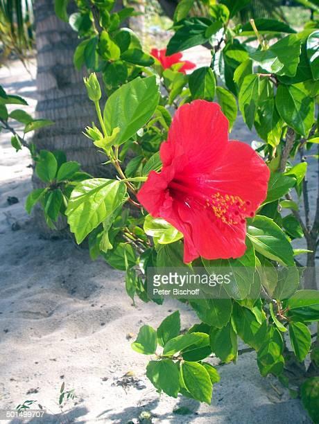 Hibiskus Insel Isla Saona Dominikanische Republik Karibik Pflanze Blüte Reise BB CD PNr 068/2007
