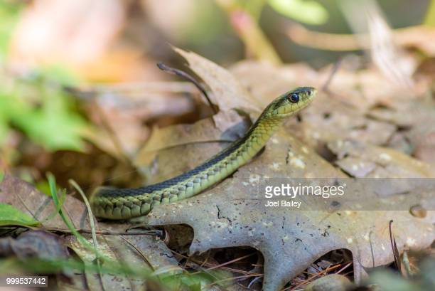 hidden fox photography - garter snake stock pictures, royalty-free photos & images