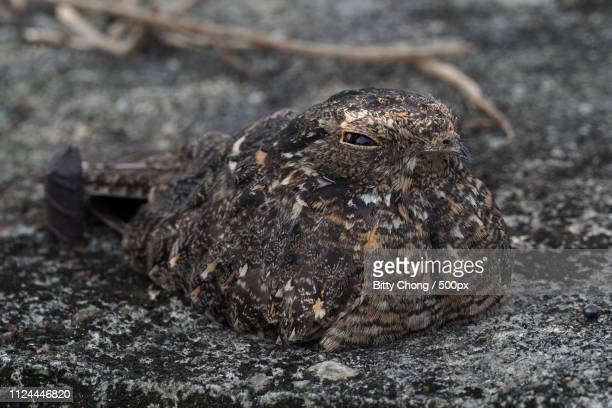 hidden in plain sight - nightjar stock photos and pictures