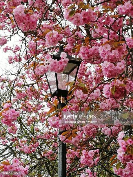hidden lamppost in pink cherry blossoms in spring - cherry blossom stock pictures, royalty-free photos & images