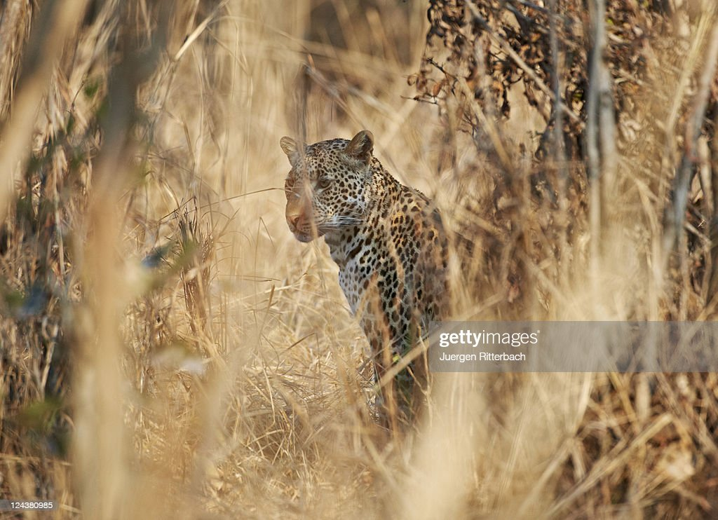 Hidden Leopard Stock Photo Getty Images