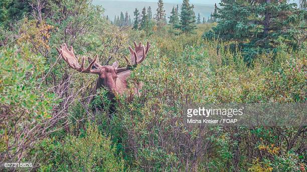 Hidden moose in the forest