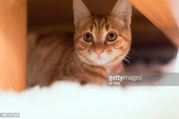 hidden under the bed ginger cat - under tongue stock pictures, royalty-free photos & images