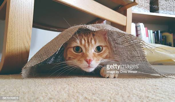 hide and seek cat - chat roux photos et images de collection