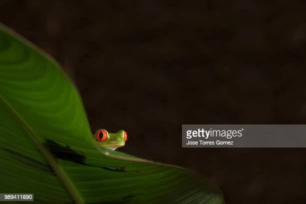 hide and seek - tree frog stock pictures, royalty-free photos & images