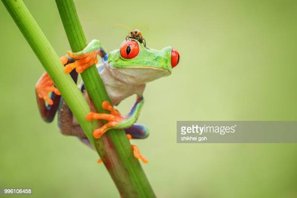 hide and seeks - tree frog stock pictures, royalty-free photos & images