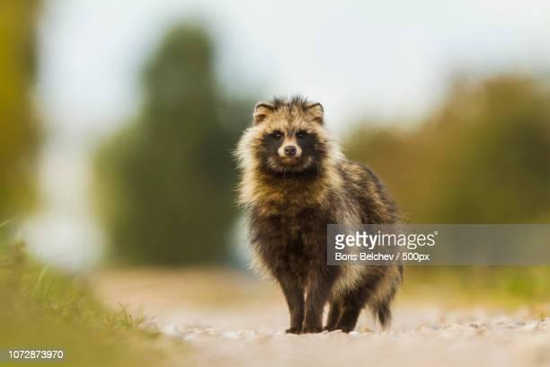 hide photography in lithuania 2015 - marderhund stock-fotos und bilder