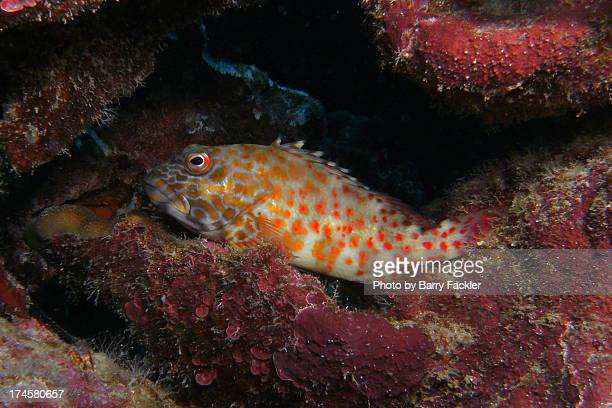 hideaway - hawkfish stock pictures, royalty-free photos & images