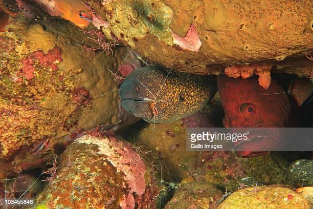 Hiding Tomato Grouper (Cephalopholis sonnerati) and eel, Wetar Island, Banda Sea, Indonesia