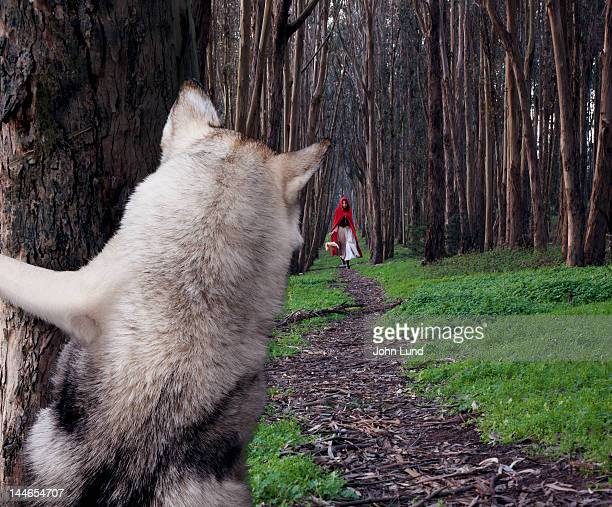 a hiding wolf watches little red riding hood - le petit chaperon rouge photos et images de collection
