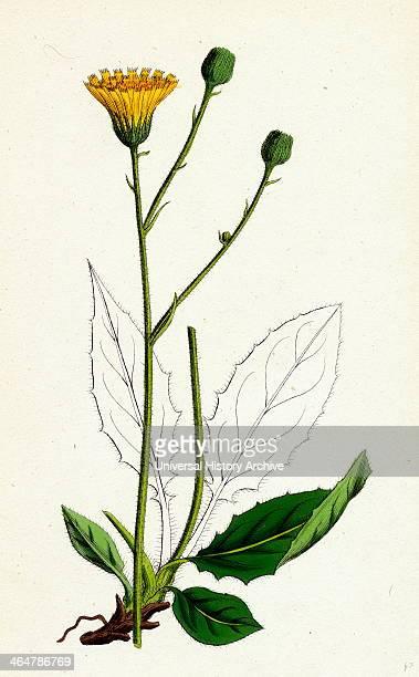 Hieracium pallidum Pale Hawkweed