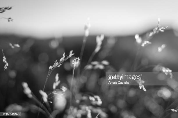 hierba pajiza a contraluz en blanco y negro - blanco y negro ストックフォトと画像