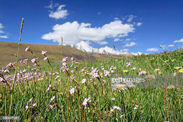 high altitude meadow - langsa stock photos and pictures