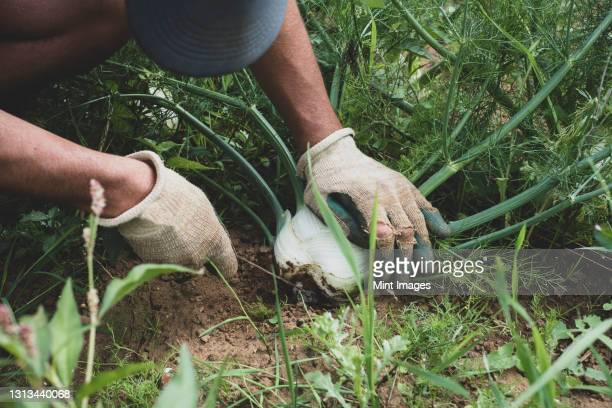 high angle close up of farmer harvesting fennel. - farmer stock pictures, royalty-free photos & images