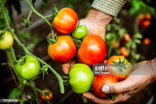 high angle close up of farmer holding bunch of fresh tomatoes. - tomato harvest stock pictures, royalty-free photos & images