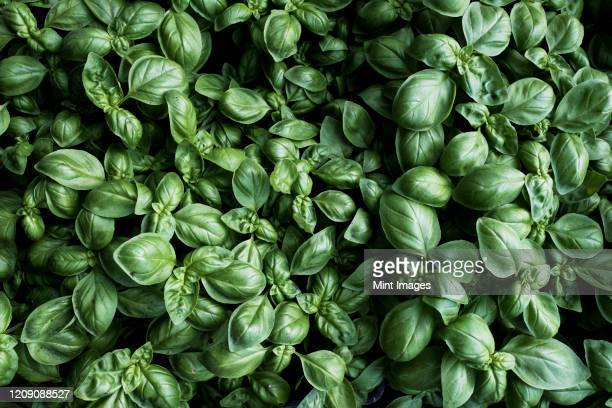 high angle close up of fresh green basil. - basil stock pictures, royalty-free photos & images
