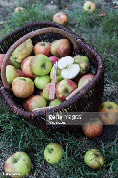 high angle close up of freshly picked apples in a brown wicker basket. - fruit tree stock pictures, royalty-free photos & images