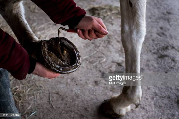 high angle close up of person cleaning hoof of white horse. - herbivorous stock pictures, royalty-free photos & images