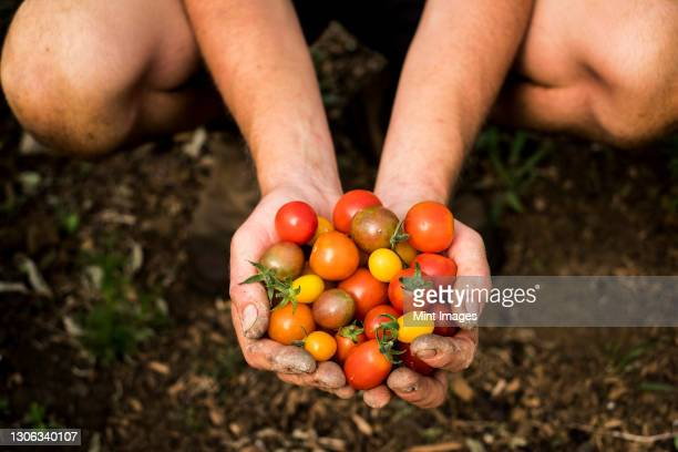 high angle close up of person holding bunch of freshly picked cherry tomatoes. - close up stock pictures, royalty-free photos & images