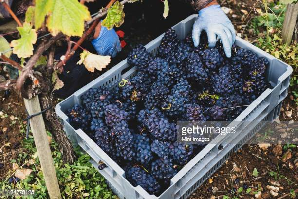 high angle close up of stack of grey plastic crated with freshly picked black grapes at a vineyard. - abundance stock pictures, royalty-free photos & images