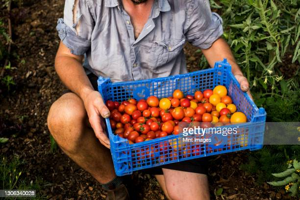 high angle close up person holding blue plastic crate with freshly picked cherry tomatoes. - tomato stock pictures, royalty-free photos & images