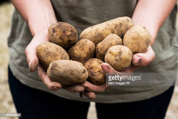 high angle close up person holding potatoes for planting in spring. - farm stock pictures, royalty-free photos & images