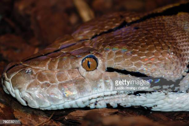 high angle close-up of boa constrictor on rock - boa constrictor stock photos and pictures