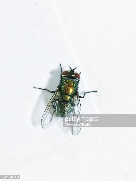 high angle close-up of fly on white background - insect stock pictures, royalty-free photos & images