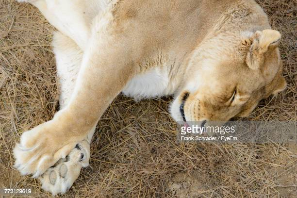 High Angle Close-Up Of Lioness Sleeping On Grassy Field