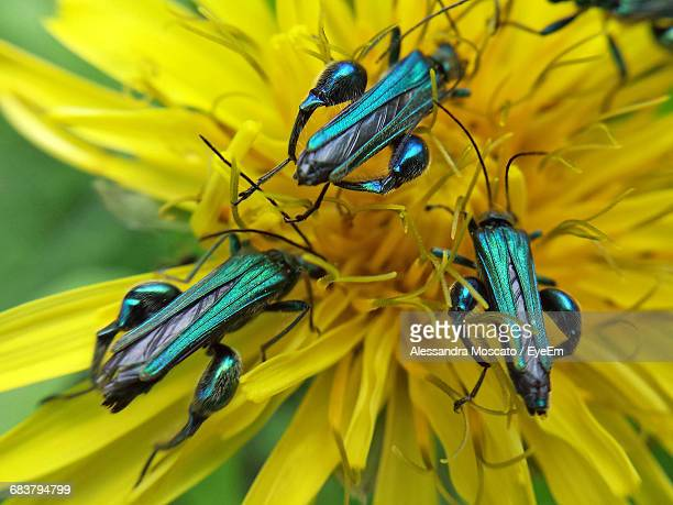 High Angle Close-Up Of Oedemera Nobilis On Yellow Dandelion