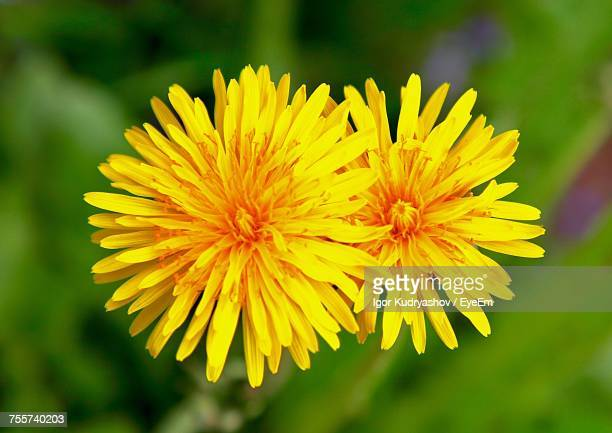 High Angle Close-Up Of Yellow Dandelion Blooming At Park