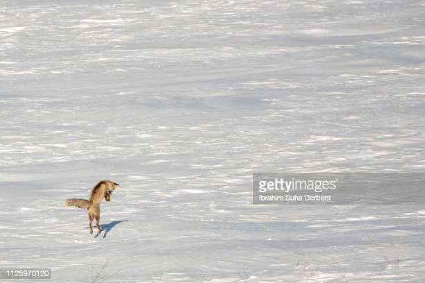 high angle extreme long shot of a red fox that is hunting - volpe rossa foto e immagini stock