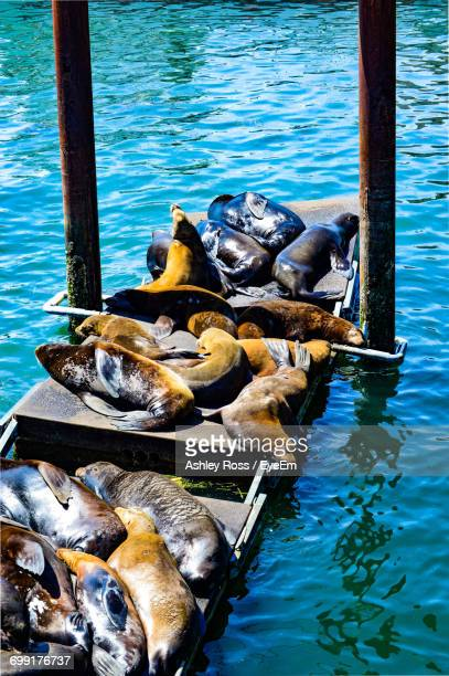 high angle of sea lions relaxing on dock - ashley ross stock pictures, royalty-free photos & images