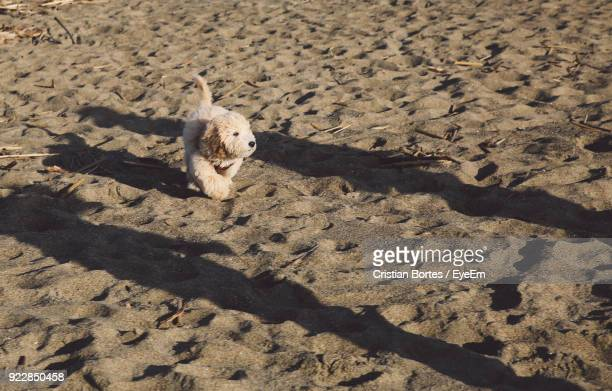 high angle of west highland white terrier on sand at beach - bortes stock pictures, royalty-free photos & images