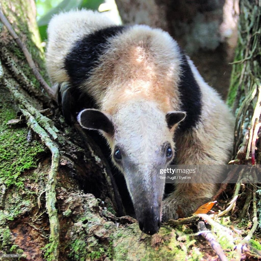 High Angle Portrait Of Anteater On Field : Stock Photo