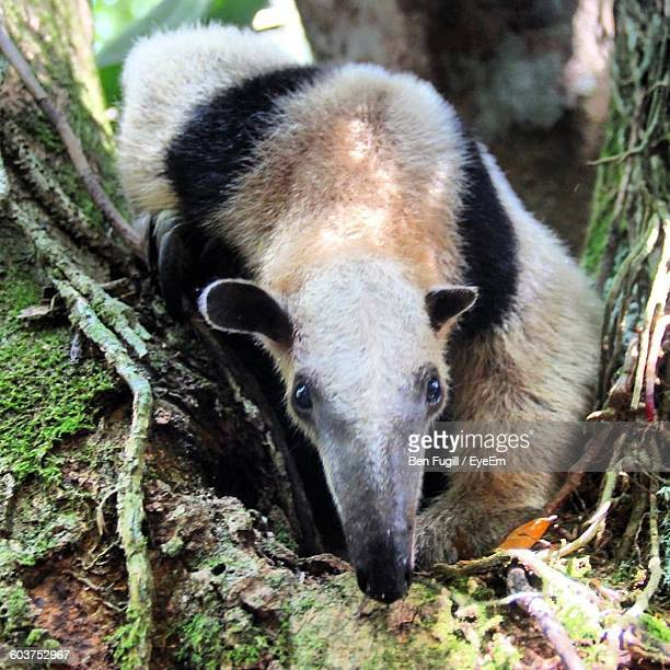 high angle portrait of anteater on field - giant anteater stock pictures, royalty-free photos & images