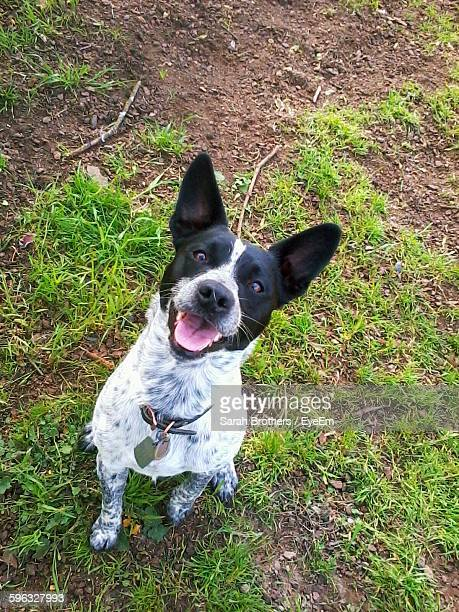 high angle portrait of australian cattle dog sticking out tongue while sitting on grassy field - australian cattle dog stock photos and pictures
