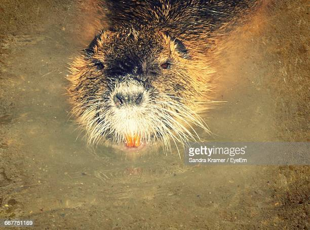 High Angle Portrait Of Beaver In Pond