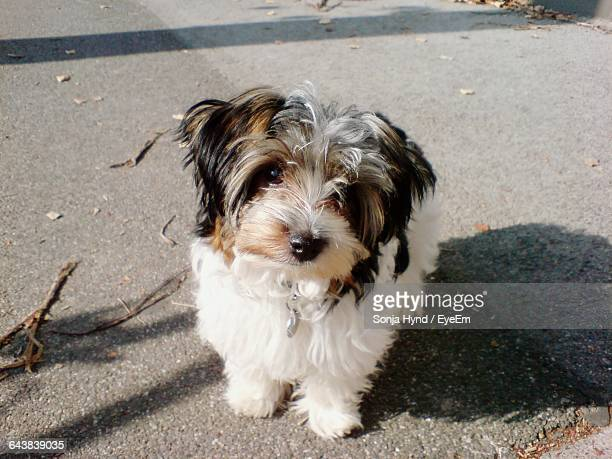 high angle portrait of biewer terrier on street - terrier stock pictures, royalty-free photos & images