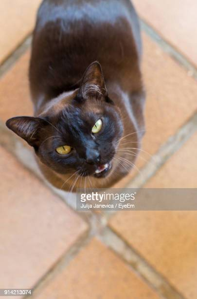 high angle portrait of black cat - black siamese cat stock pictures, royalty-free photos & images