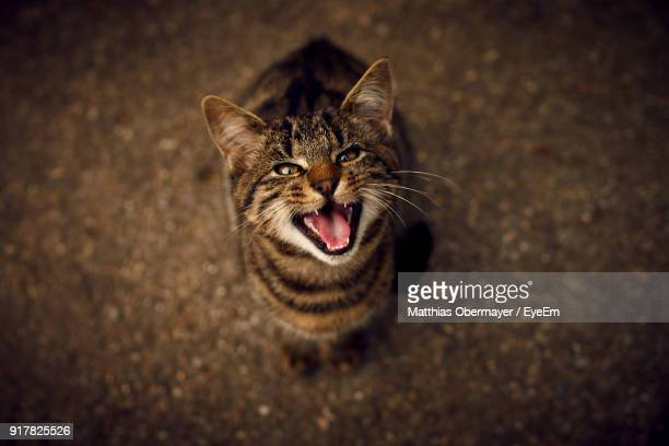 High Angle Portrait Of Cat Meowing