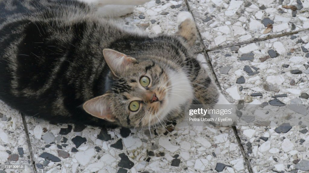 High Angle Portrait Of Cat Relaxing On Floor : Photo