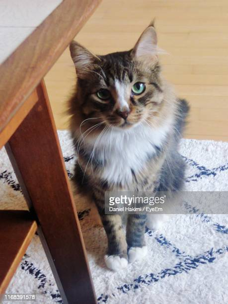 high angle portrait of cat sitting at home - hakimi stock photos and pictures