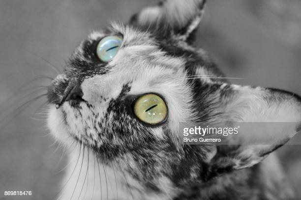 high angle portrait of cat with multi coloured eyes looking up - green eyes stock pictures, royalty-free photos & images